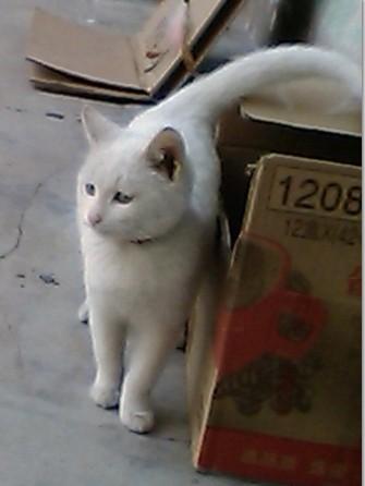 酬谢 走失 白猫 寻找 大家帮忙/爱猫照片