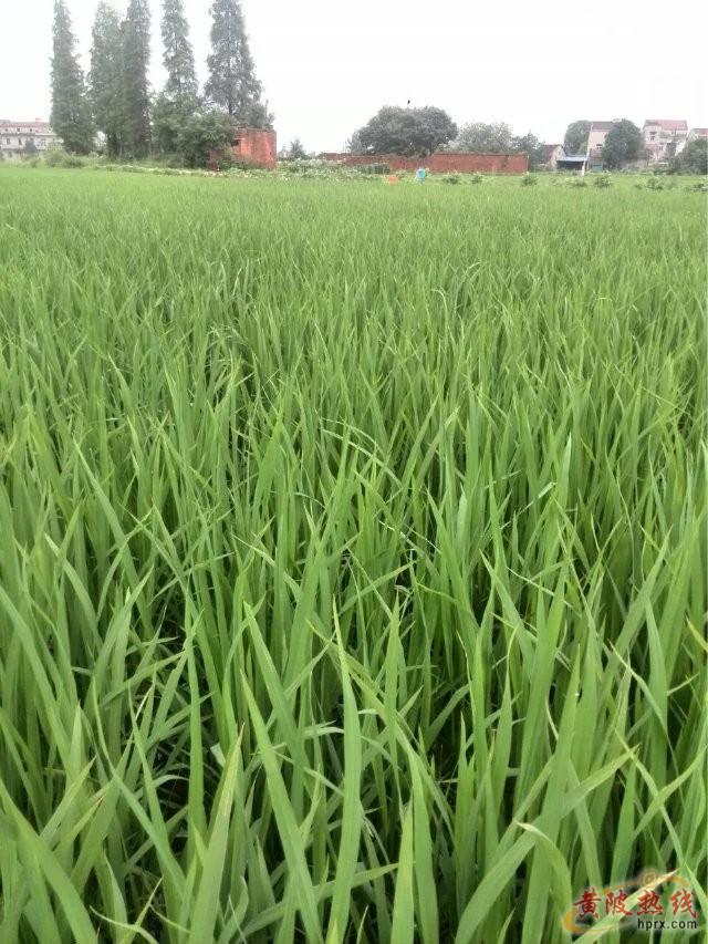 稻田里的秘密